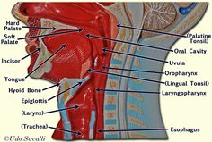 human anatomy and physiology laboratory manual organ systems model labeled